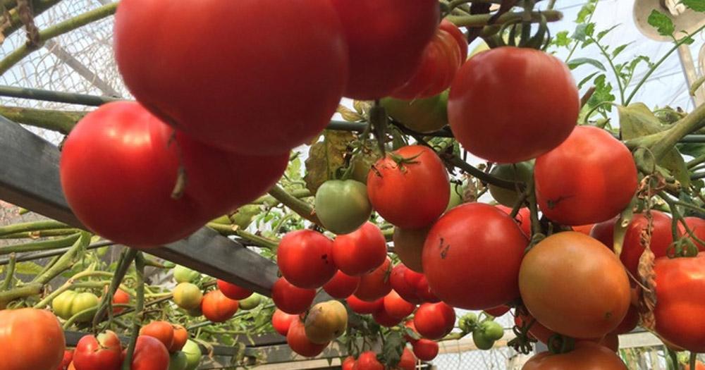 trồng rau trên sân thượng Cà chua