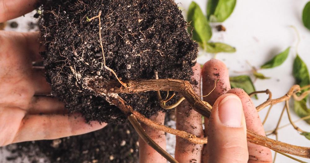 Có nhiều dấu hiệu nhận diện tình trạng úng nước ở cây trồng